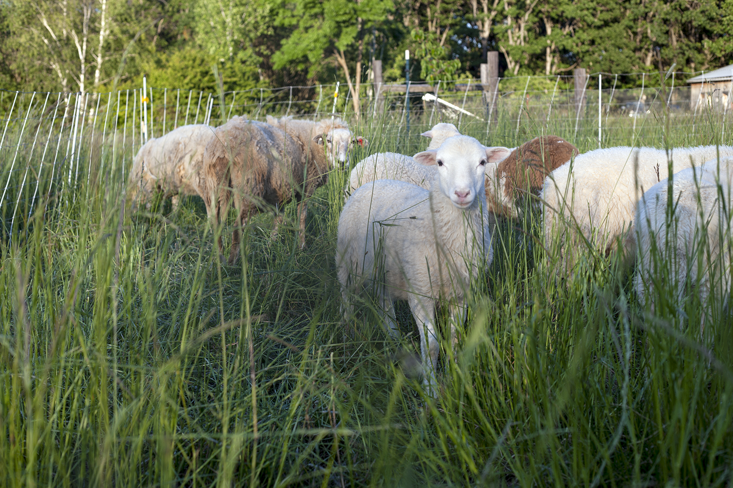 Hair sheep – Pradaria Farm